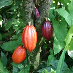 cacao tree with pods