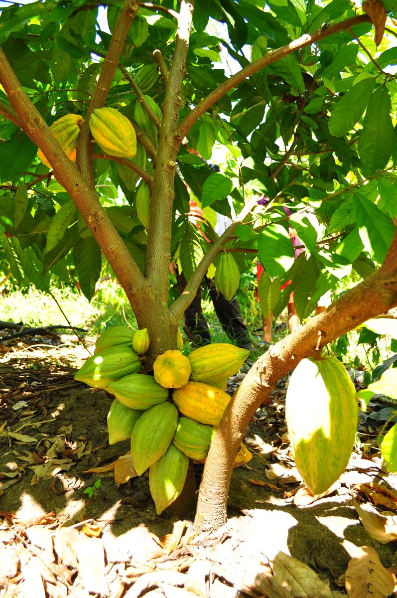 Marañón Cacao Tree, Peru