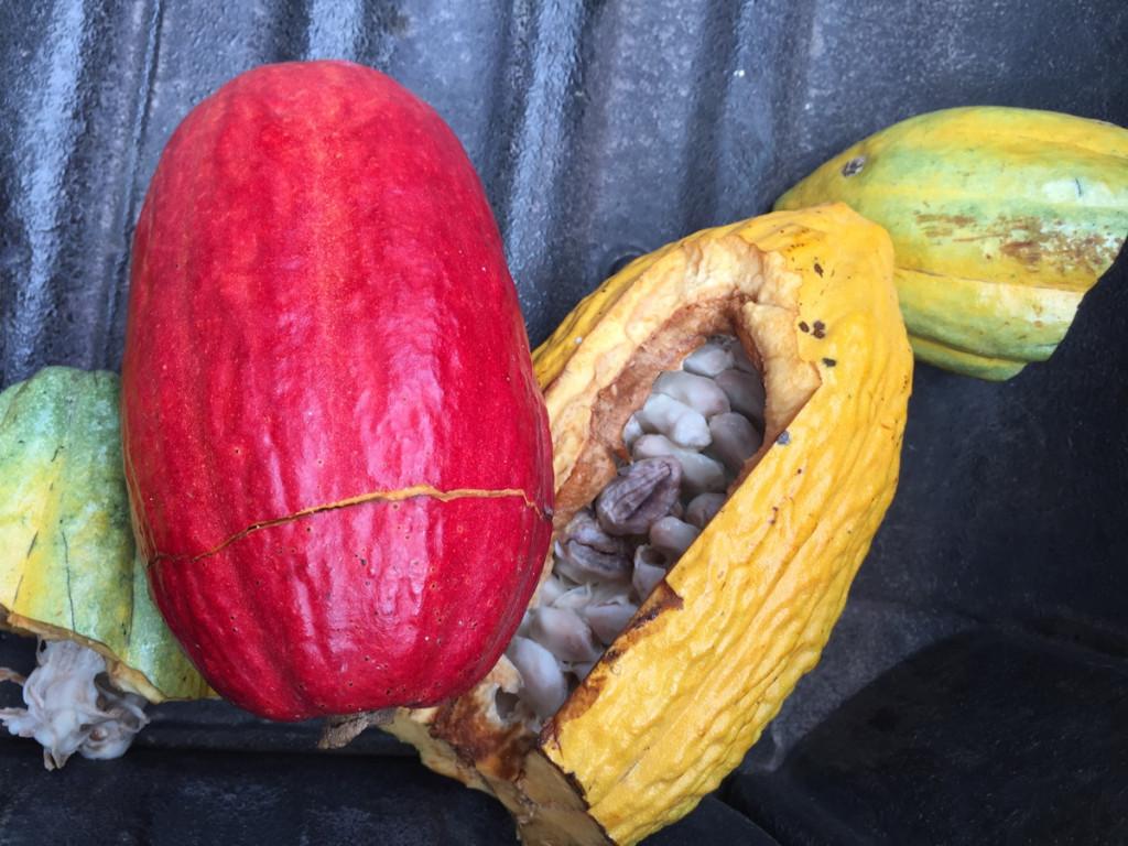Camino Verde farms Cacao Fruit, Ecuador