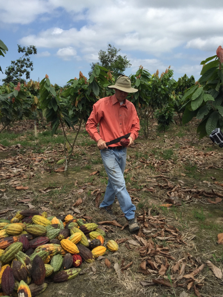 Vicente cutting cacao fruit